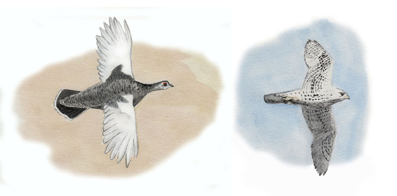 Grönlandsfåglar, Grönlanninlintuja