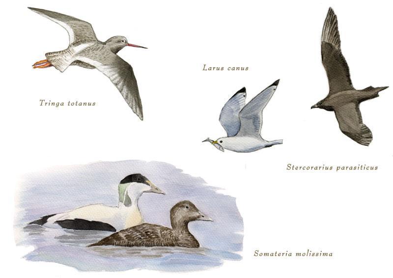kustfåglar - rannikkolintuja