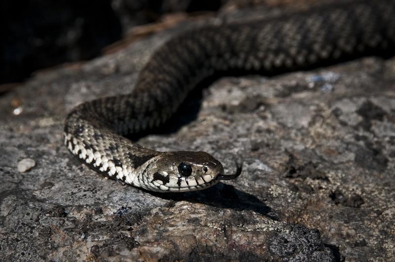 snok, rantakäärme