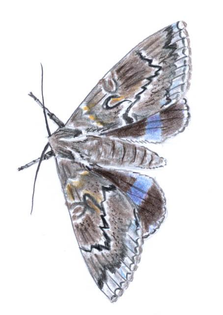 blåbandat ordensfly (Catocala fraxini)